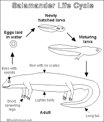 life cycle of a salamander