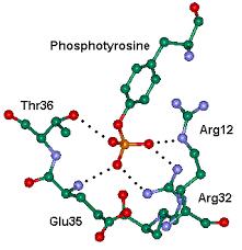 phosphorylated tyrosine