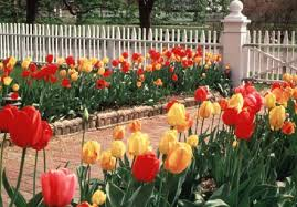 plants tulips
