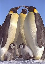 male emperor penguin