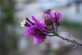 buganvilias plants