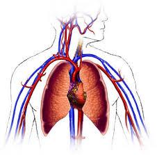 cardiovascular system pics