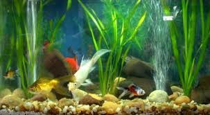 goldfish aquariums