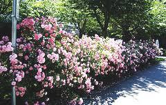 rose hedge