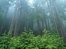 evergreen forests