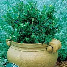 blueberries plant