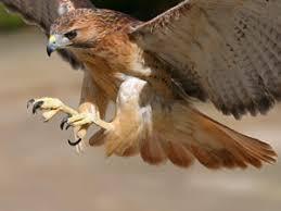 birds of prey hawks