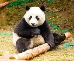 endangered animals panda