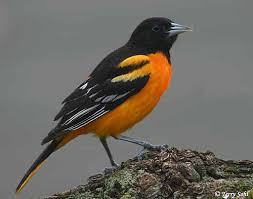 Baltimore Oriole - South