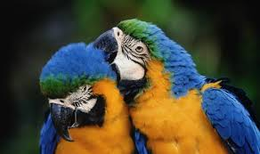 blue gold macaws