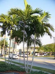 alexander palm
