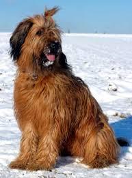 briard dog breed