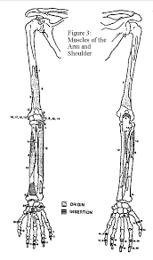 human skeleton arm