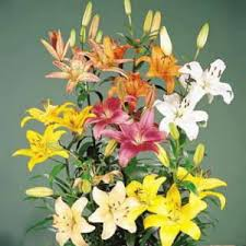 types of lily flowers