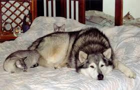 kitten wolf