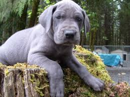 blue great dane pups