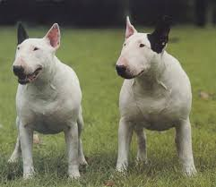 english bulldog terrier