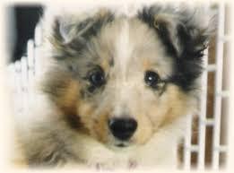 blue merle sheltie puppy