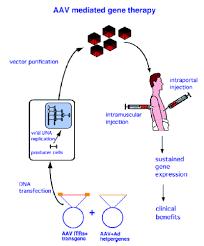adeno associated virus vector