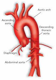 anatomy of aorta