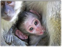 cute baby monkey picture