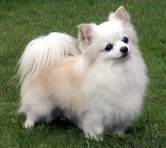 long hair chihuahua dogs