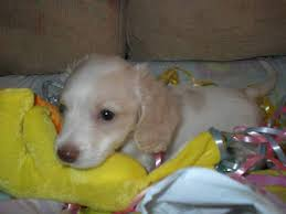 cream dachshund puppies