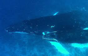 humpback whales life cycle