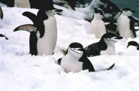 pictures of chinstrap penguins
