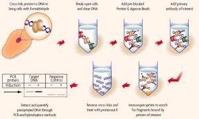 chromatin immunoprecipitation chip
