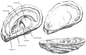 oyster parts