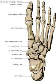 human body foot