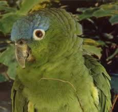 mealy amazon parrot