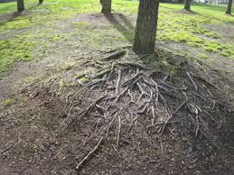 cherry tree roots