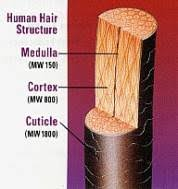hair structure diagram