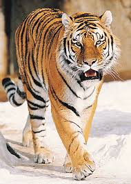 imagenes de tiger