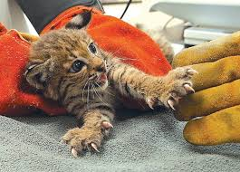 baby bobcat for sale