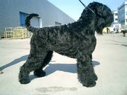 black russian terrier pictures