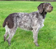 german wirehair pointers