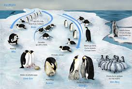 emperor penguins life cycle