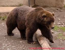 bear grizzly