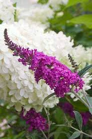 buddleia miss ruby