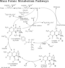 folic acid metabolism