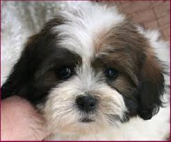 bichon frise mix puppies