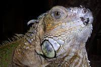 iguana rhinolopha