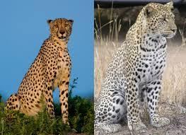 cheetah leopard