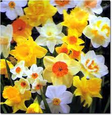 daffodils narcissus