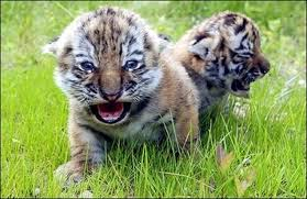 baby tiger cubs