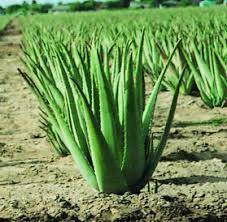 aloevera plant