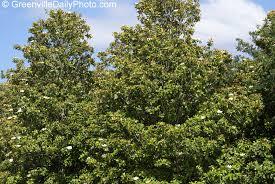 magnolias tree